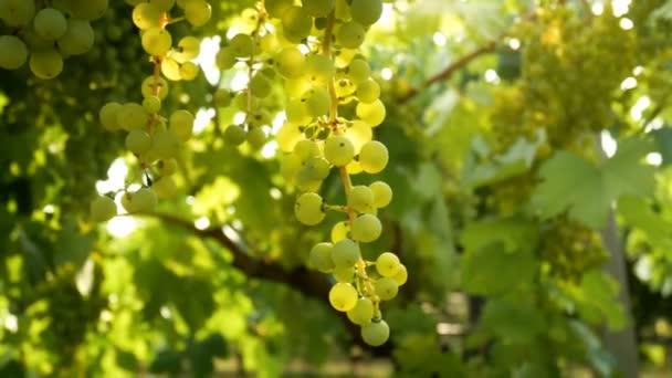 Grapes sunset Italy vineyard wine sun