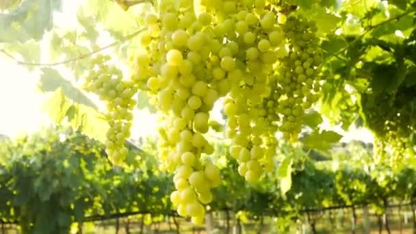Hrozny na západě Itálie vinice víno