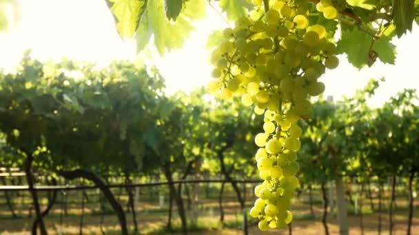 Vinice hrozny západ slunce Itálie bílý vinný východ