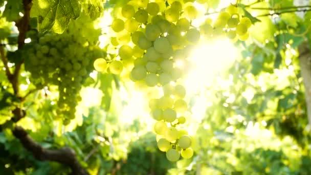 Vineyard grapes sunset Italy white wine sunrise