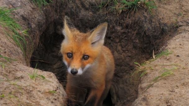 Fox animal hole brute predator wolf nature wild summer zoo