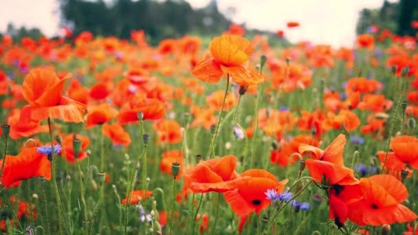 Poppy červené umění pole floar květina příroda slunce barevné