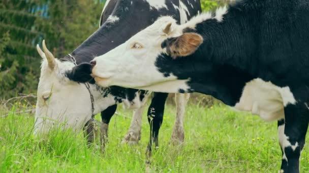 Kráva horská tráva jíst farma divoké zvíře