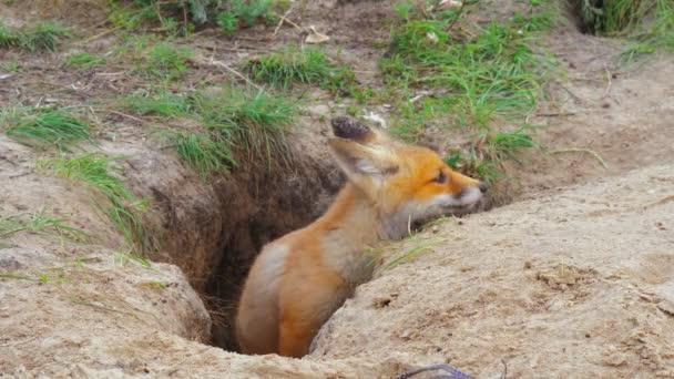 Red fox family wild animal nature hunter food