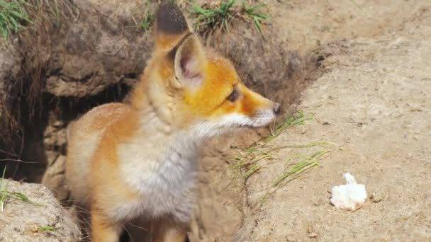 Red fox family wild animal nature hunter food