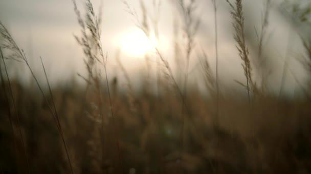 sunset grass slow motion camera. Midle shot