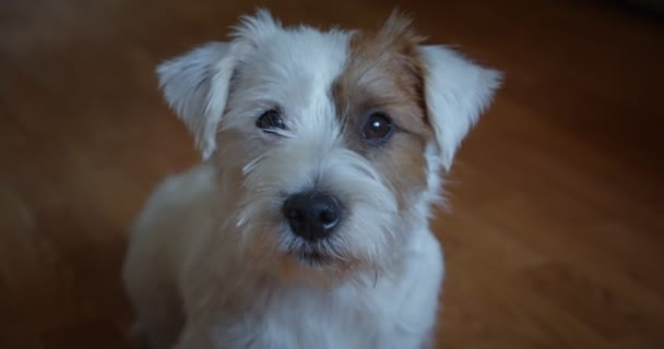 Slow motion portrait lovely small pet Jack Russel terrier close up head portrait. Ver 2