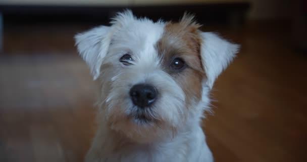 Slow motion portrait lovely small pet Jack Russel terrier close up head portrait.