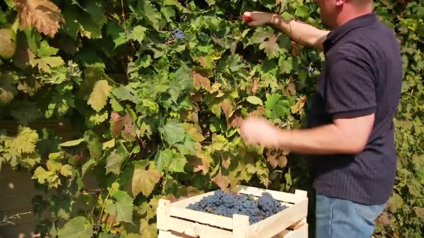 A male farmer picks dark purple grapes from a vineyard and puts them in a box. Harvest season on a local farm. Wine industry.