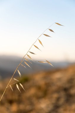 Blades of grass in Carmel Valley, California.