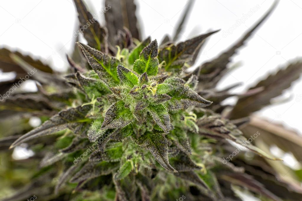 The top cola and accompanying purple leaves of a Black Lotus Kush bud.