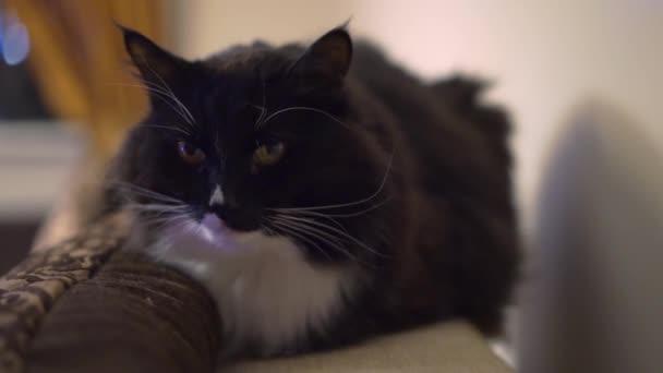 Černá kočka portrét v místnosti