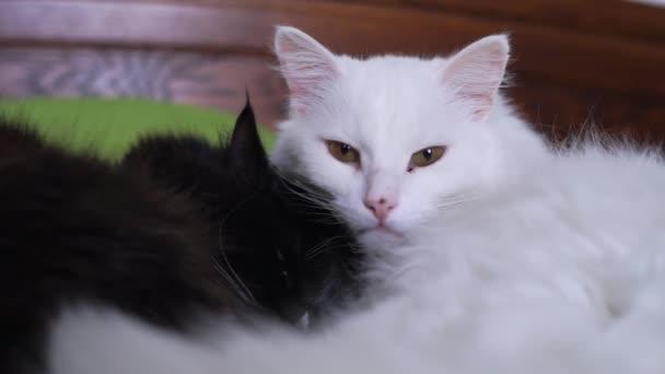Černá a bílá kočka ležící na posteli v objetí