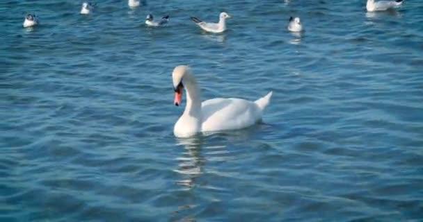 schöne weiße Schwäne schwimmen im Meer.