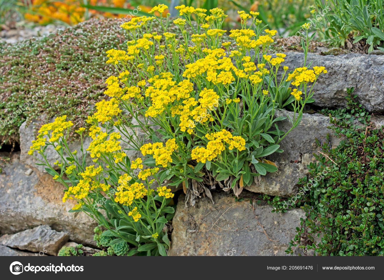 Jardin Rocaille Avec Des Fleurs Jaunes Mur Pierre ...