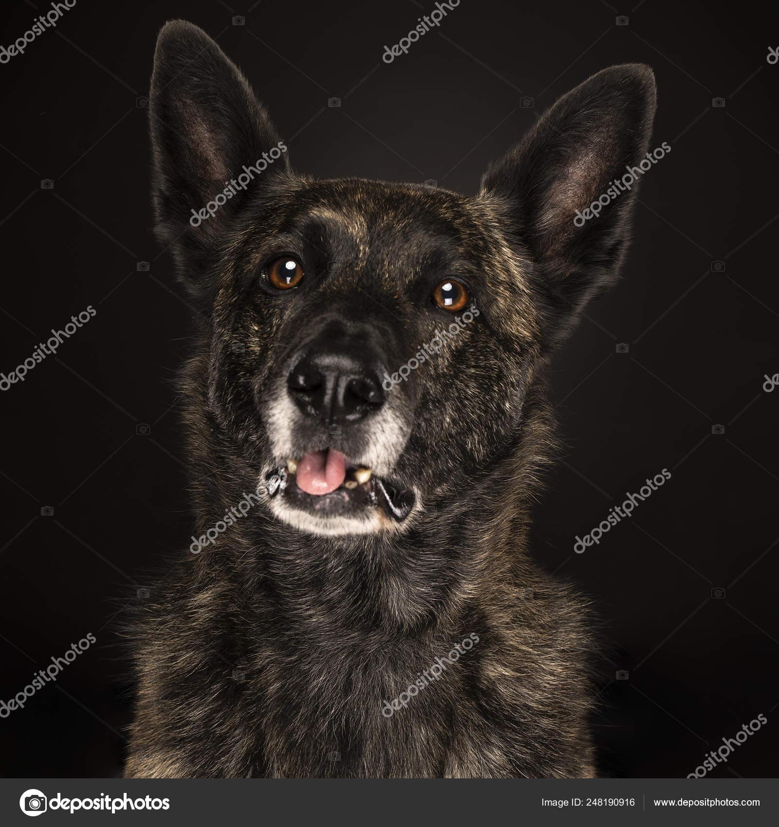 Kleurplaten Honden Duitse Herder.Portret Hollandse Herdershond Hond Met Tong Uit Brindle