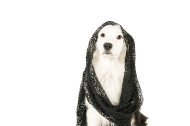 Australian Shepherd dog in white background wearing a black veil