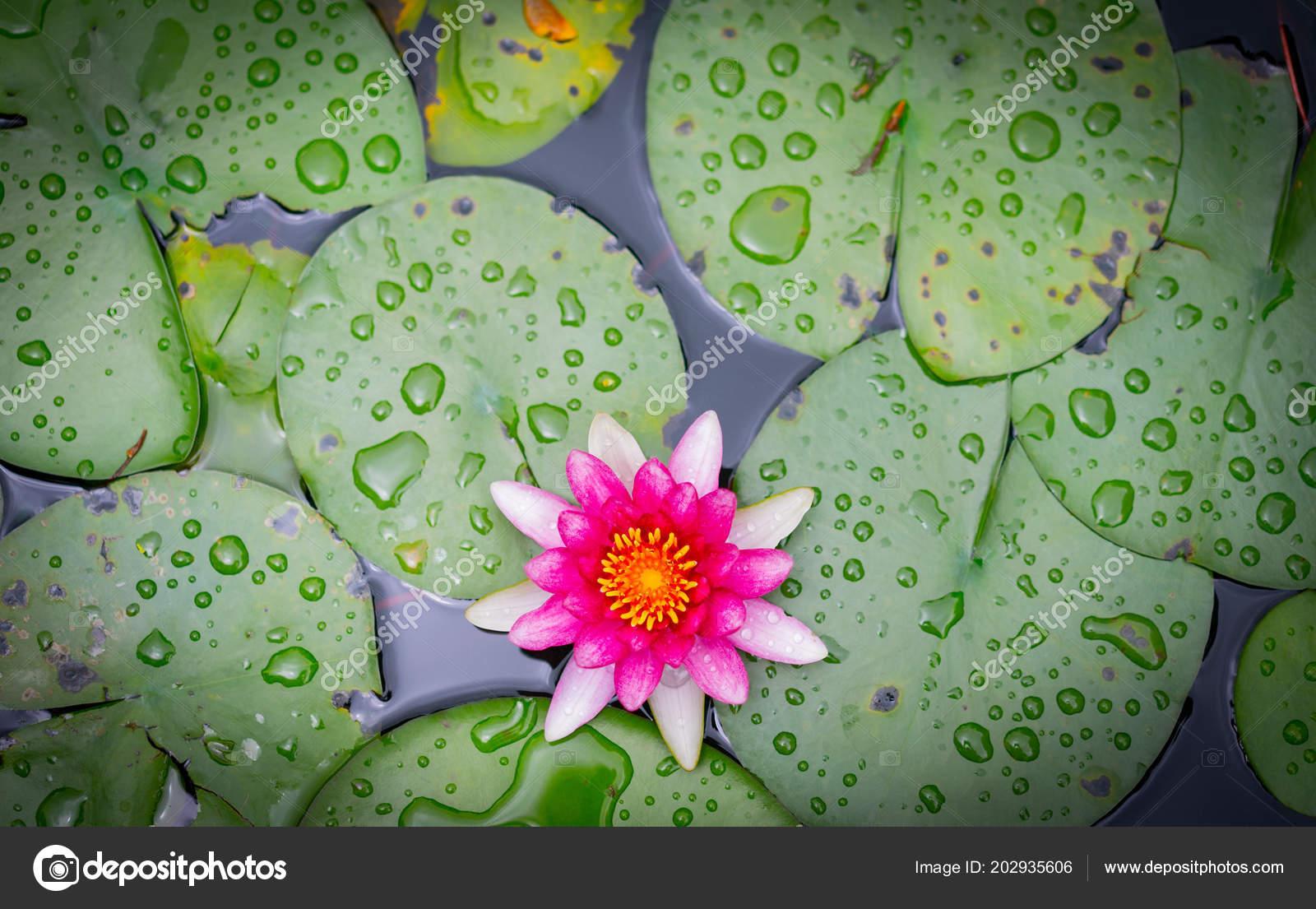 Beautiful lotus flower water garden stock photo nattanansia beautiful lotus flower on the water in garden photo by nattanansiahotmail izmirmasajfo