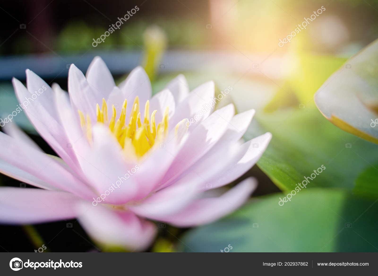 Beautiful Lotus Flower Water Rain Garden Nature Concept Stock