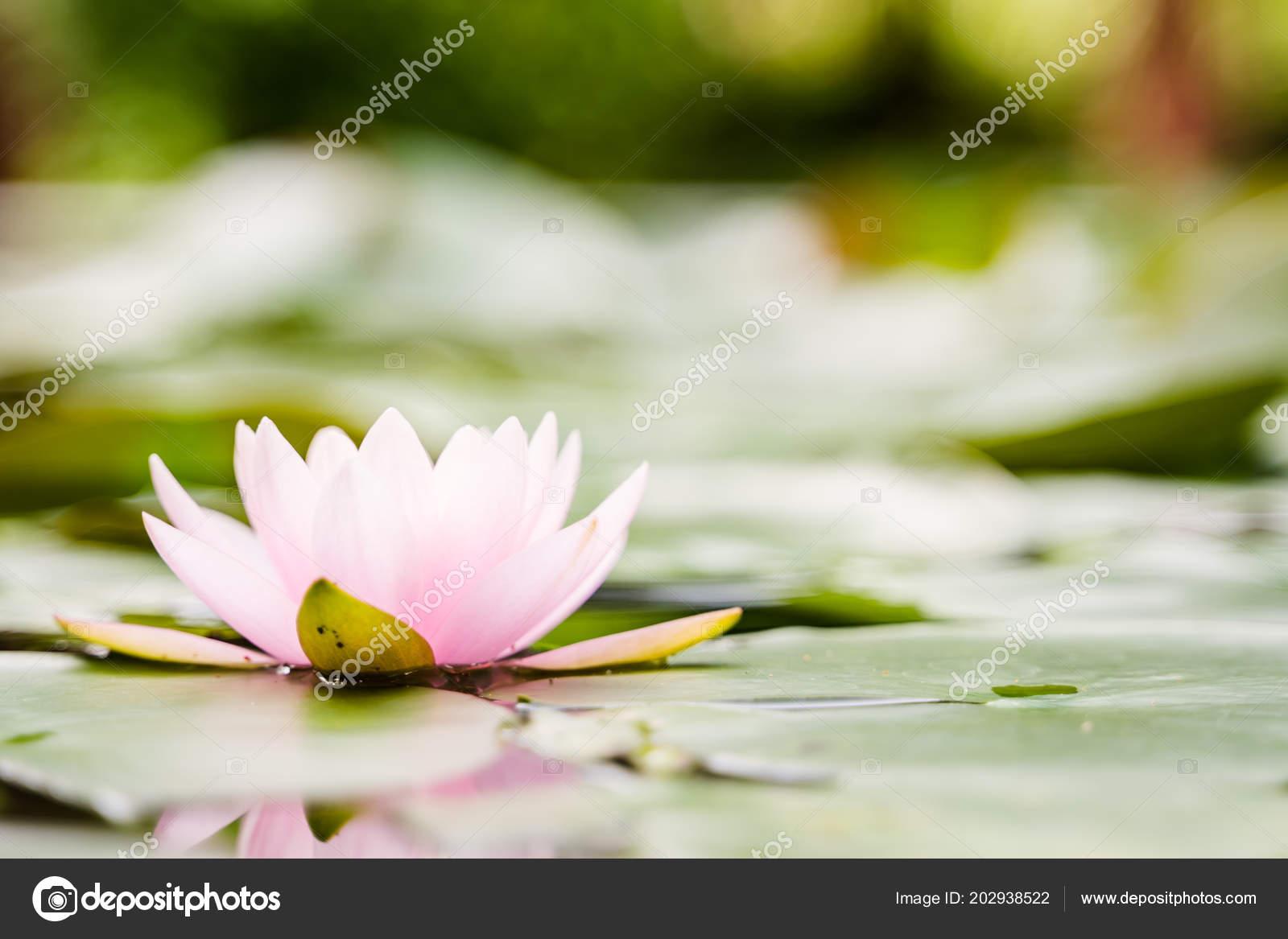 Beautiful Lotus Flower Water Rain Garden Stock Photo