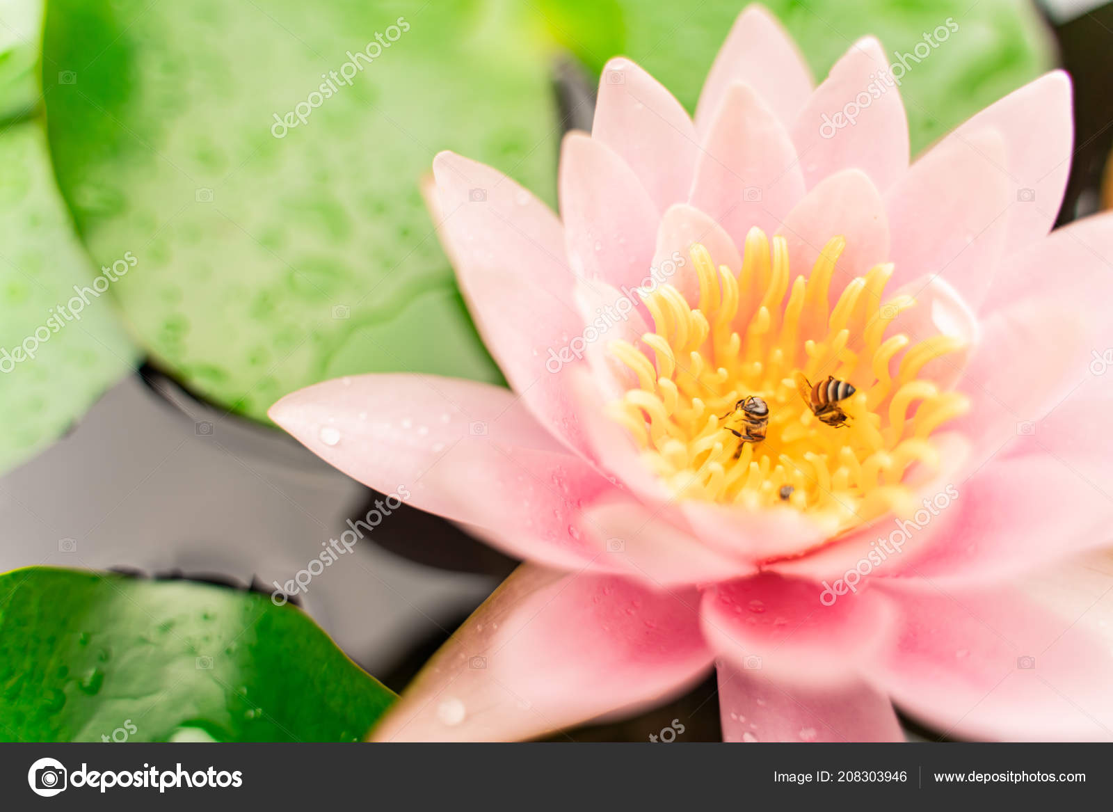 Beautiful lotus flower bee water rain garden stock photo beautiful lotus flower bee water rain garden stock photo izmirmasajfo