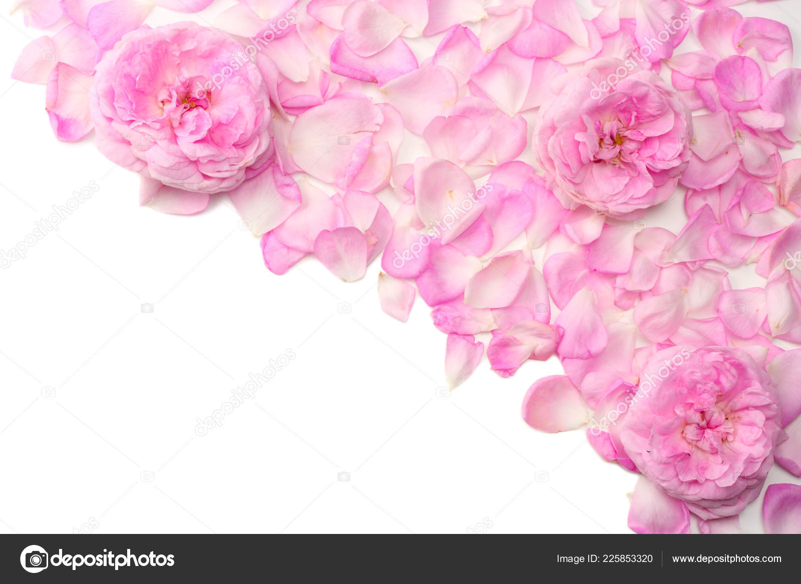 Pink Rose Flowers Isolated White Background Top View Stock Photo