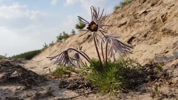 Krásný jarní fialové květy pozadí. Východní pasqueflower, prérie krokusy, sasanky cutleaf. Malá hloubka ostrosti