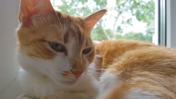 Reggel a napfény a szunnyadó vörös macska. Aranyos vicces piros-fehér macska az ablakpárkányon, közelkép, dinamikus jelenet, 4k videóinak.