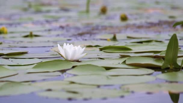 White water lily in a pond. Nymphaea alba. Beautiful white water lily and tropical climates. Water lily background. Water lilies video footage. A living embodiment of the fantasy of nature.