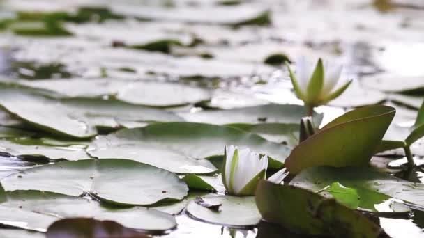 Bílý leknín v rybníku. Nymphaea alba. Krásné bílé vody lily a tropické podnebí. Leknín na pozadí. Lekníny videozáznamy. Živoucí ztělesnění fantazie přírody