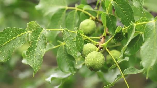 Zelené ořechy na větvi s vodou kapky v zahradě. Stromy v dešti, zblizka, dynamické scény, tónovaný, video