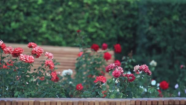 Rose Garden Background Flower Beautiful Park Red Roses City Flowers– stock footage