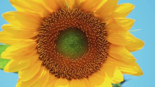 Pěkný krásný úžasné žluté čerstvé slunečnice na pozadí velké modré oblohy, dobrý slunečný letní den s lehký vánek. Mělké hloubce pole, tónovaný video, 50fps.