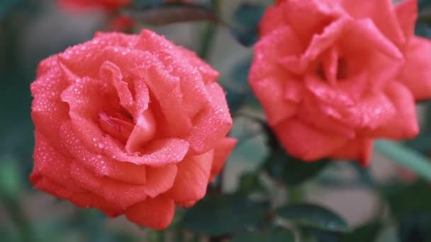 Krásné růžové červené květy s vodou kapky v zahradě. Růže v déšť rosy, zblizka, dynamické scény, tónovaný video, 50fps