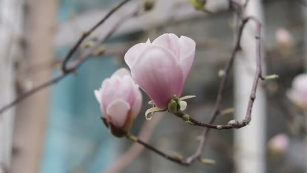 Růžové květy Magnolie na stromě v ulici, městě světlo jarní vánek. Malá hloubka ostrosti.