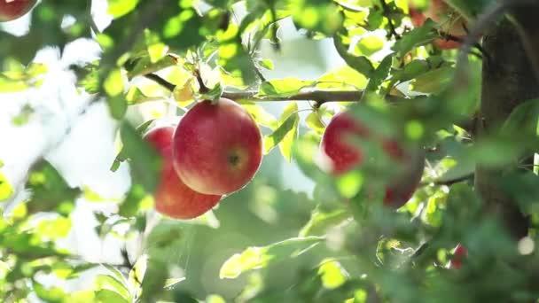 Šťavnaté krásné úžasné pěkná červená jablka na větev stromu, podzimní západ slunce s lehký vánek. Malá hloubka ostrosti, 59,94 fps.
