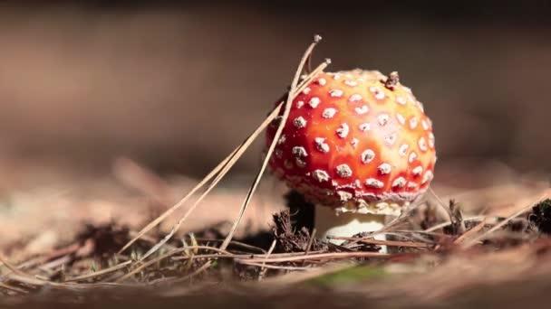 giftiger Fliegenpilz / Fliegenamanita-Pilz im mitteleuropäischen Kiefernwald. sonniger Herbsttag mit leichter Brise, Schlagschuss, geringe Schärfentiefe, 59,94 fps.