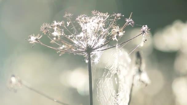 Velké webové v kapkách Rosy shivers na větru. Detail kruhu pavučina s ranní rosou, východ slunce světlo, podzimní sezónní pozadí. Malá hloubka ostrosti, lehký vánek, 59,94 fps