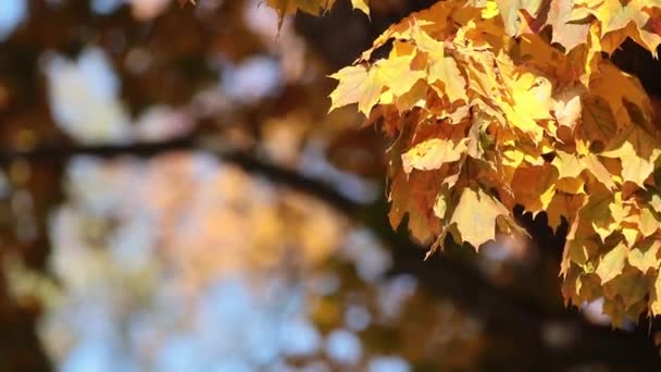 Beautiful amazing sunny autumn background with yellow fall leaves, backlight, bokeh, shallow depth of the field, light breeze