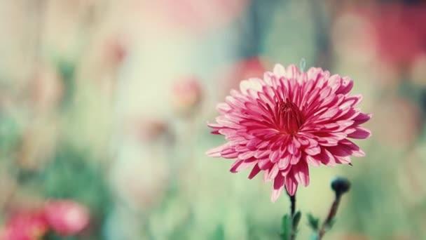 Fialová chryzantéma v zahradě, slunečný den, selektivní fokus, lehký vánek, podsvícení, bokeh, malá hloubka ostrosti, 59,94 fps.