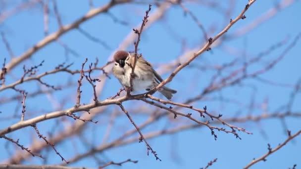 Veréb a fa ága. Süt a nap. Kék ég. Szép kora téli hideg nap. Sekély mélységélesség, 59.94 fps