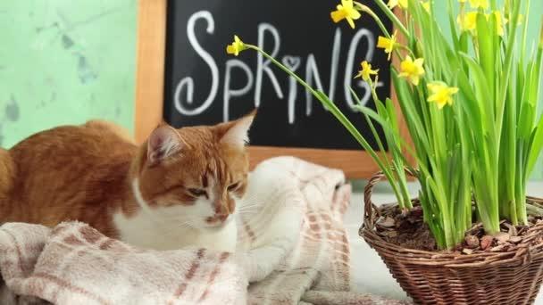 Niedliche rote weiße Katze, die in der Nähe der kalligraphischen Inschrift ruht, handgeschriebene Buchstaben auf schwarzer Kreidetafel, die auf grüner Betonoberfläche mit gelber Blütennarzisse im Weidenkorb steht.