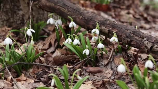 White blooming snowdrop folded or Galanthus plicatus in the forest background. Wind, light breeze, cloudy spring day, dolly shot, close up, shallow depths of the field, 59,94 fps