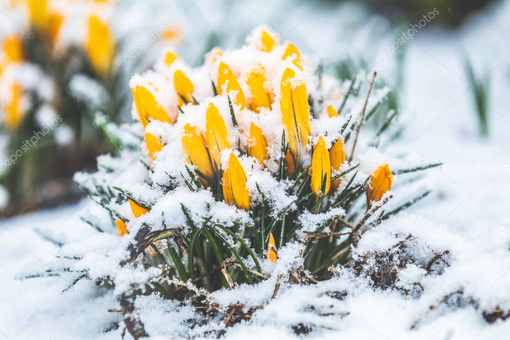 Yellow crocuses covered with snow on spring's blizzard