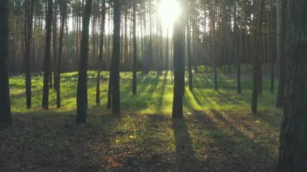 Pohádkové ranní lesní slunce. Východ slunce v borovém lese, Dron letí mezi vysokými zelenými stromy v jasných slunečních paprscích.