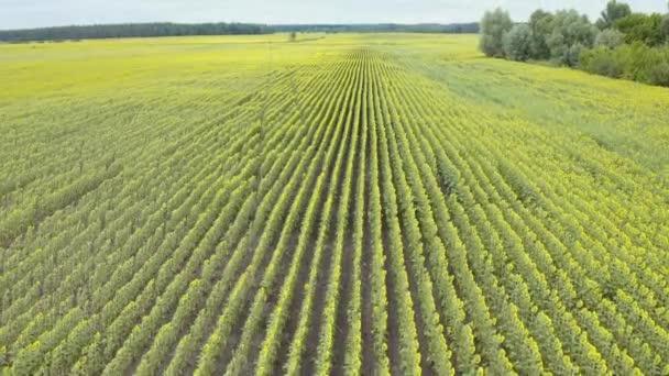 Luftaufnahme einer Drohne, die mit Sonnenblumen über die Felder fliegt. Bewölkter Sommertag
