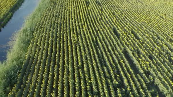 Luftaufnahme einer Drohne, die mit Sonnenblumen über die Felder fliegt. Sonnenblumen blühendes Feld bei Sonnenaufgang