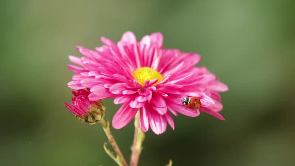 The beautiful autumn pink chrysanthemum garden in sunlight with ladybug, lush chrysanthemum flowers with pink petals in the garden bloom at sunset. Slow motion video.