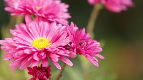 The beautiful autumn pink chrysanthemum garden in sunlight, lush chrysanthemum flowers with pink petals in the garden bloom at sunset.