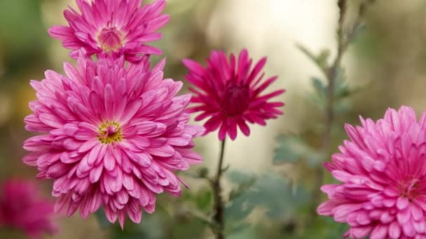 The beautiful autumn pink chrysanthemum garden in sunlight, lush chrysanthemum flowers with pink petals in the garden bloom at sunset. Slow motion video.